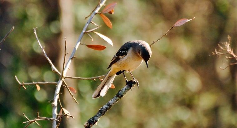mockingbirds-called-mockingbirds