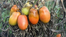 Why Do Tomatoes Rot on the Vine?