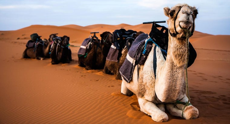 camels-spit