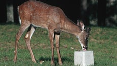 Why Do Deer Lick Salt?