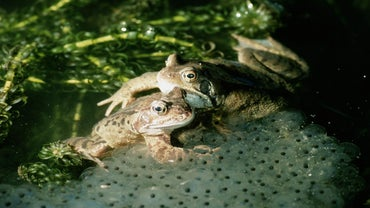 Why Do Frogs Lay Their Eggs in Water?