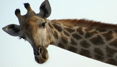 Why Do Giraffes Have Horns?