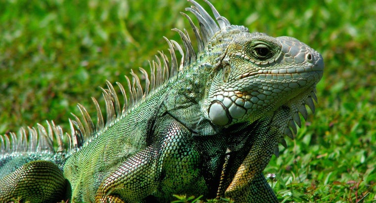 iguanas-bob-heads