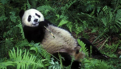 Why Do Pandas Eat Bamboo?