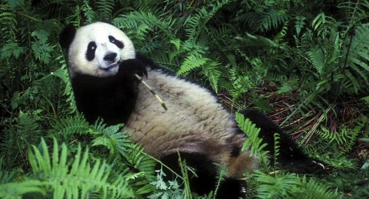pandas-eat-bamboo