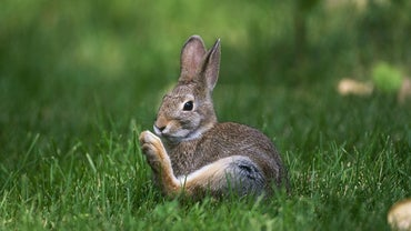 Why Do Rabbits Thump?