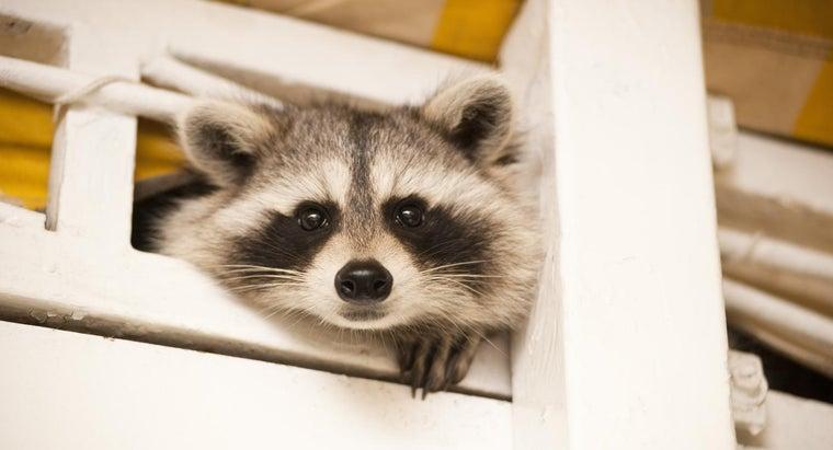 raccoons-masks-around-eyes
