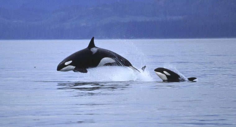 whales-jump-out-water
