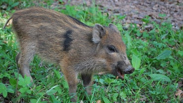 What Do Wild Boars Eat?