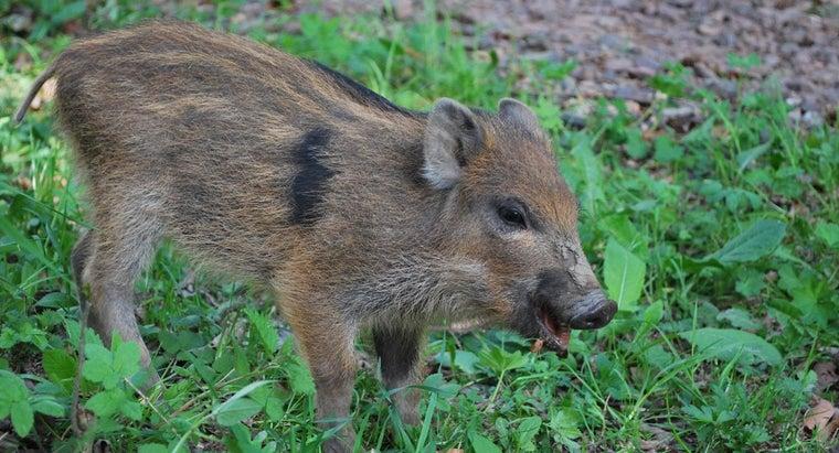 wild-boars-eat