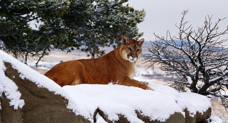 wild-mountain-lions-eat