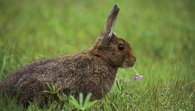 What Do Wild Rabbits Eat?