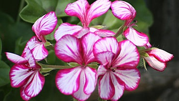 What Is the Best Winter Storage for Geraniums?