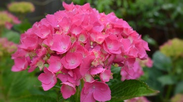 How Do You Winterize Endless Summer Hydrangea Plants?