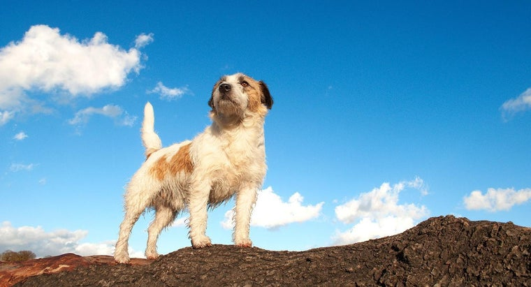 wire-haired-jack-russell-terrier