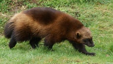 What Does a Wolverine Eat?