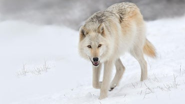 Why Are Wolves Endangered in the Wild?