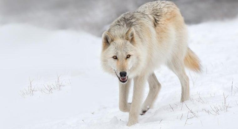 wolves-endangered-wild