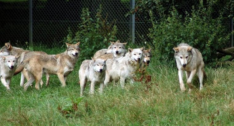 wolves-hunt