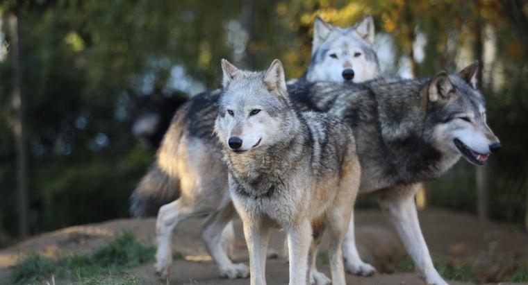 wolves-ohio