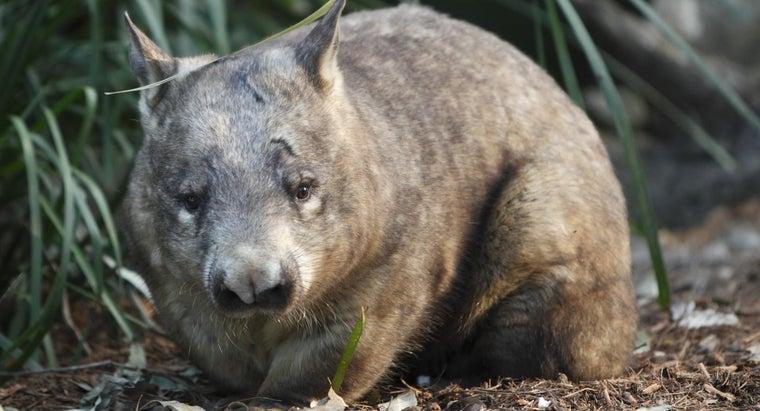 wombats-eat