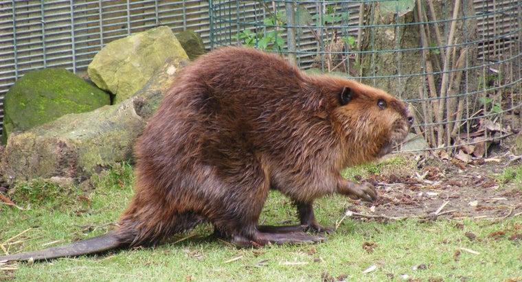 world-record-weight-beaver
