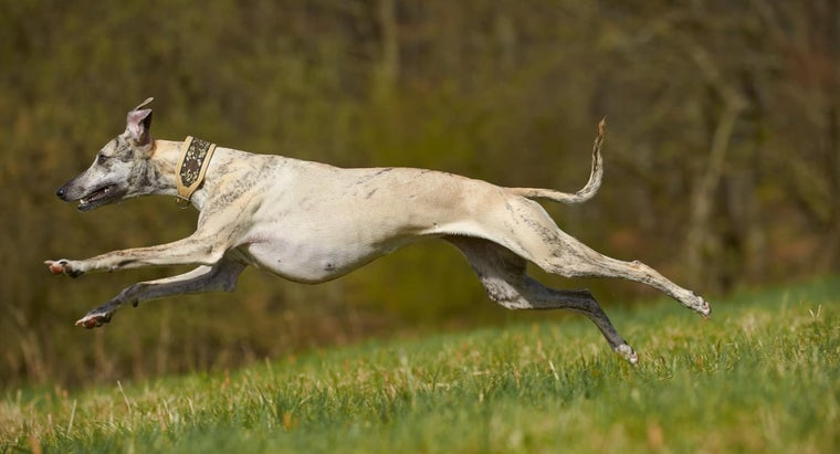 would-win-race-whippet-vs-greyhound