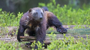 Who Would Win a Wolverine Vs Bear Fight?