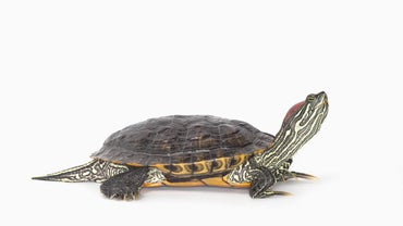 What Do Yellow Belly Slider Turtles Eat?