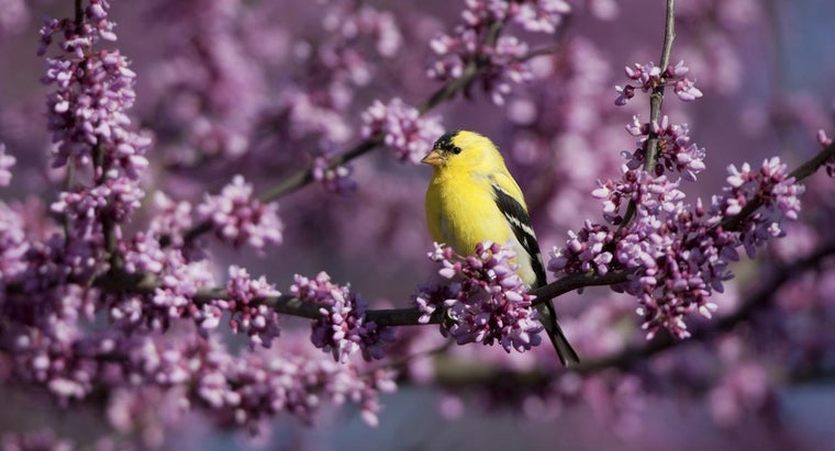 yellow-finches-migrate
