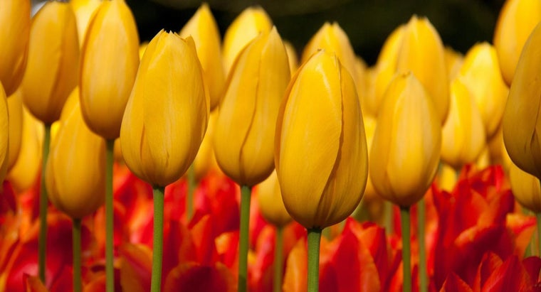 yellow-tulips-mean