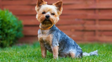 What Do Yorkshire Terriers Eat?