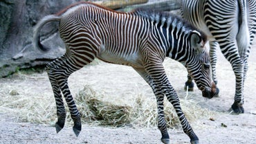 What Is a Young Zebra Called?