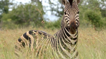 What Does a Zebra Eat?