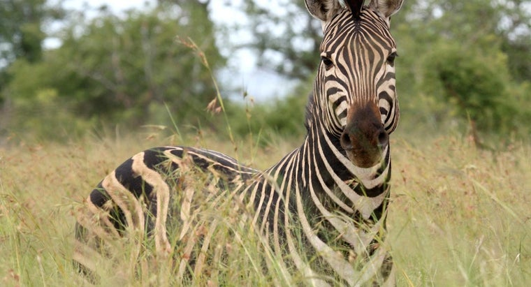zebra-eat