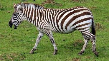Is a Zebra a Horse?