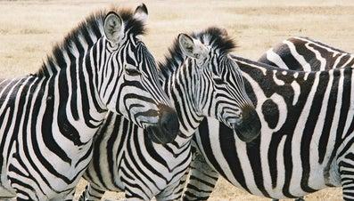Where Does a Zebra Live?