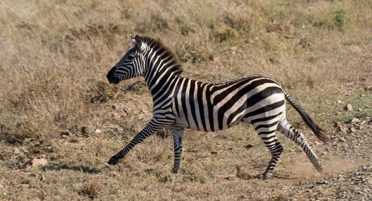 zebra-run-faster-horse