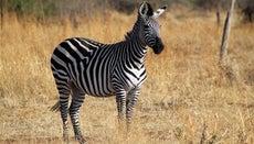 What Is a Zebra's Habitat?