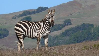 What Does a Zebra Sound Like?