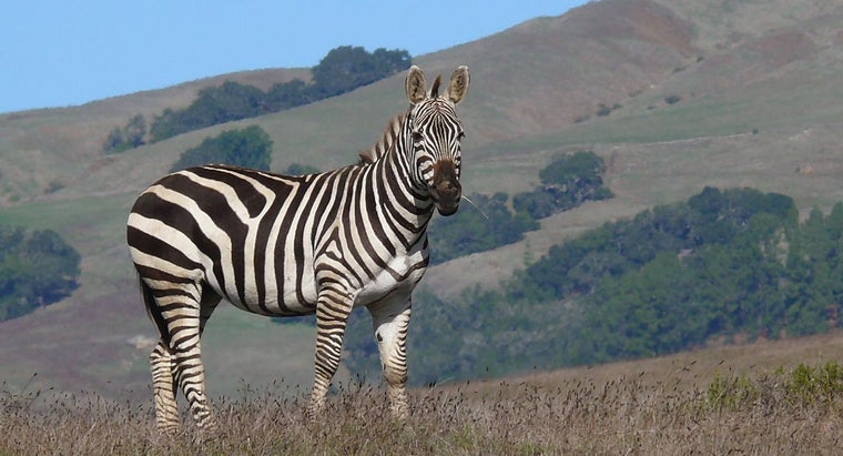 What Does a Zebra Sound Like? | Reference com