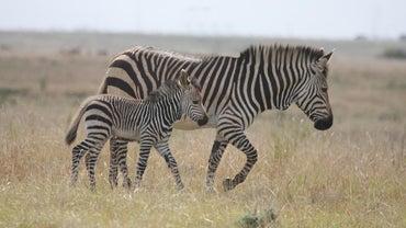 How Do Zebras Behave?