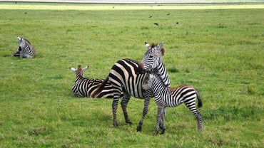 How Are Zebras Born?