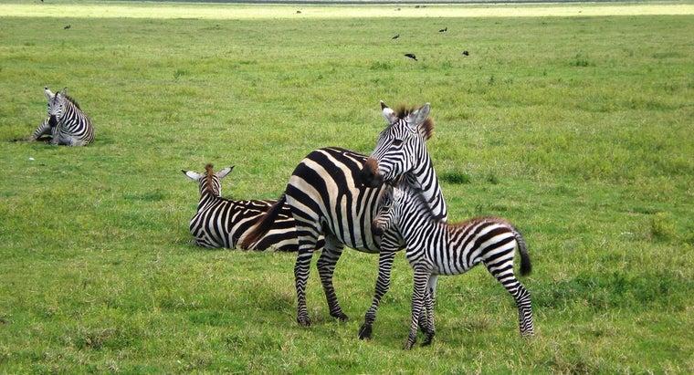 zebras-born