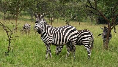 Are Zebras Endangered?