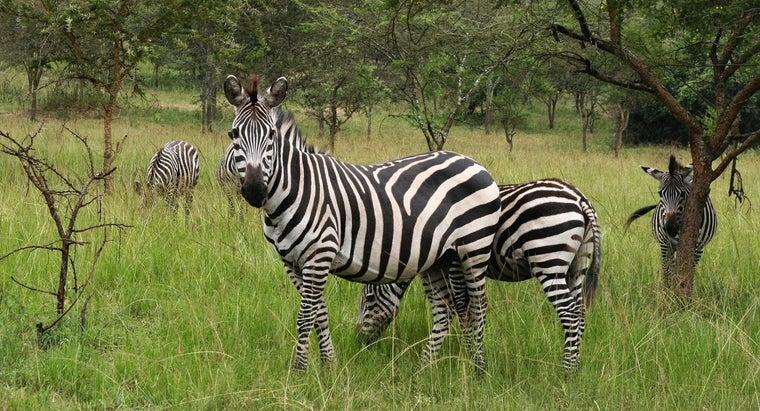 zebras-endangered