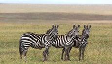Do Zebras Migrate?