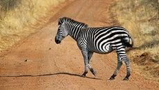 Are Zebras White With Black Stripes?