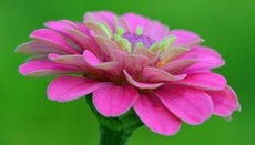 Are Zinnias Annuals or Perennials?