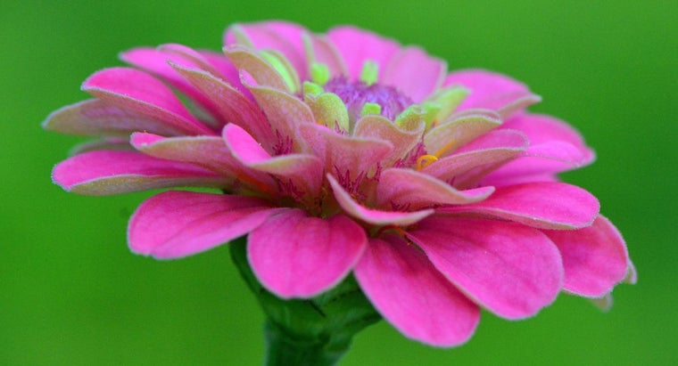 zinnias-annuals-perennials